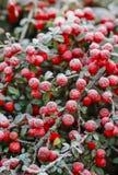 红色莓果(枸子属植物horizontalis)在霜下 图库摄影