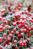 红色莓果(枸子属植物horizontalis)在霜下 免版税库存照片