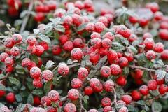 红色莓果(枸子属植物horizontalis)在霜下 库存图片