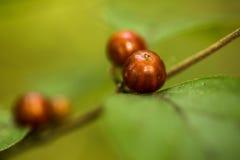 红色莓果绿色叶子在秋天伊利诺伊 库存图片