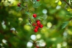 红色莓果以绿色 免版税库存照片