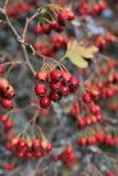 红色莓果 库存图片