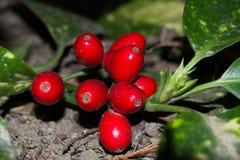 红色莓果aucuba japonica 库存照片