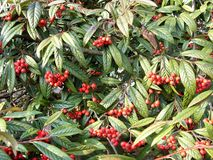 红色莓果und绿色树 库存照片