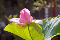 红色莲花在夏天 免版税图库摄影