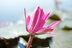 红色莲花在水池日间落 免版税库存照片