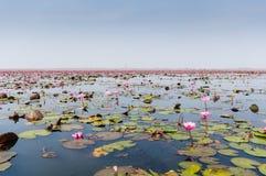 红色莲花海在乌隆他尼,泰国 免版税库存图片
