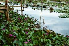 红色莲花的秀丽在湖 图库摄影