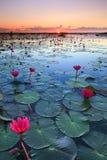 红色莲花,湖Nong哈恩,乌隆他尼,泰国海  免版税库存图片