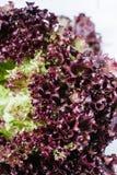 红色莴苣在白色砖墙,在厨房用桌,空间嘲笑上的新鲜的健康沙拉食物背景离开,节食叶子 免版税库存照片