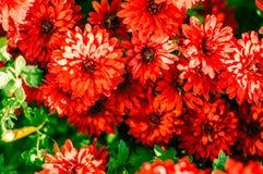 红色菊花背景 图库摄影