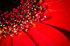 红色菊花花和被突出的雄芯花蕊 免版税库存图片