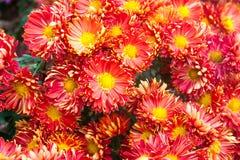 红色菊花花在五颜六色的背景的 软的焦点迷离 所有所有秋天背景要素花卉例证各自的对象称范围纹理导航 免版税库存图片