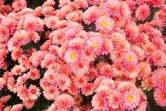 红色菊花花在五颜六色的背景的 软的焦点迷离 所有所有秋天背景要素花卉例证各自的对象称范围纹理导航 免版税库存照片