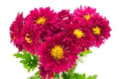 红色菊花花束 库存照片