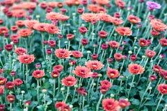 红色菊花花田背景 与许多五颜六色的妈咪的花卉静物画 在树干的绿色和黄色叶子 免版税库存照片