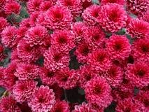 红色菊花花自然本底 免版税库存照片