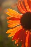 红色菊花 库存图片