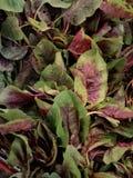 红色菠菜 库存照片