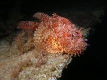 红色蓑鱼 库存图片