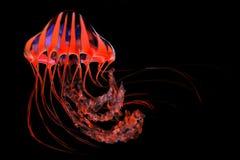 红色蓝色镶边水母 免版税库存照片