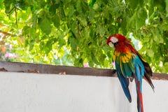 红色蓝绿色金刚鹦鹉鹦鹉 库存照片
