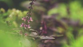 红色蓬蒿开花用水在庭院里滴下 植物在雨中,关闭,动态场面,被定调子的录影 股票视频