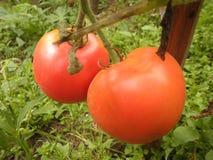红色蕃茄在庭院里 库存图片