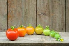 红色蕃茄的演变-成熟果子的过程 免版税库存照片