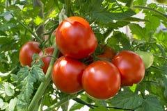 红色蕃茄藤 库存图片