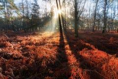红色蕨的领域在日出的 免版税库存图片
