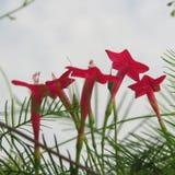 红色藤花 库存图片