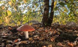 红色蘑菇在一个晴天 图库摄影