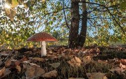 红色蘑菇在一个晴天 免版税图库摄影