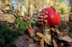 红色蘑菇在一个晴天 库存图片