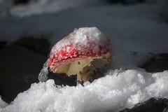 红色蘑菇在雪盖下的森林里 免版税库存照片