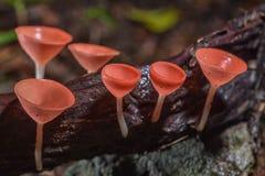 红色蘑菇或香宾蘑菇 库存照片