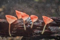 红色蘑菇或香宾蘑菇 库存图片