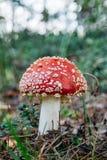 红色蘑菇 免版税图库摄影