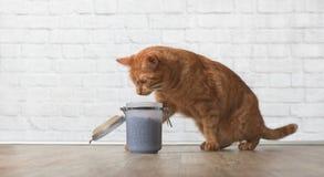红色虎斑猫窃取从一个开放食盒的干食物 免版税库存图片
