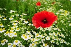 红色虞美人罂粟属和春黄菊花卉生长在五颜六色的草甸在乡下 在开花的春天领域 免版税库存照片