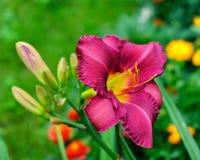 红色虹膜在庭院里 免版税库存照片