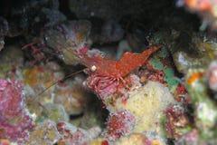 红色虾被察觉的白色 免版税库存图片