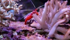红色虾 免版税库存照片