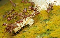红色蚂蚁和牺牲者 库存照片