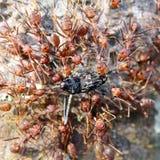 红色蚂蚁和死的甲虫 免版税库存图片
