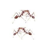 红色蚂蚁在与裁减路线的白色背景战斗 免版税库存图片