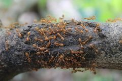 红色蚂蚁在越南 免版税库存图片
