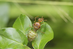红色蚂蚁女王/王后 库存图片