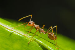 红色蚂蚁走 免版税库存图片